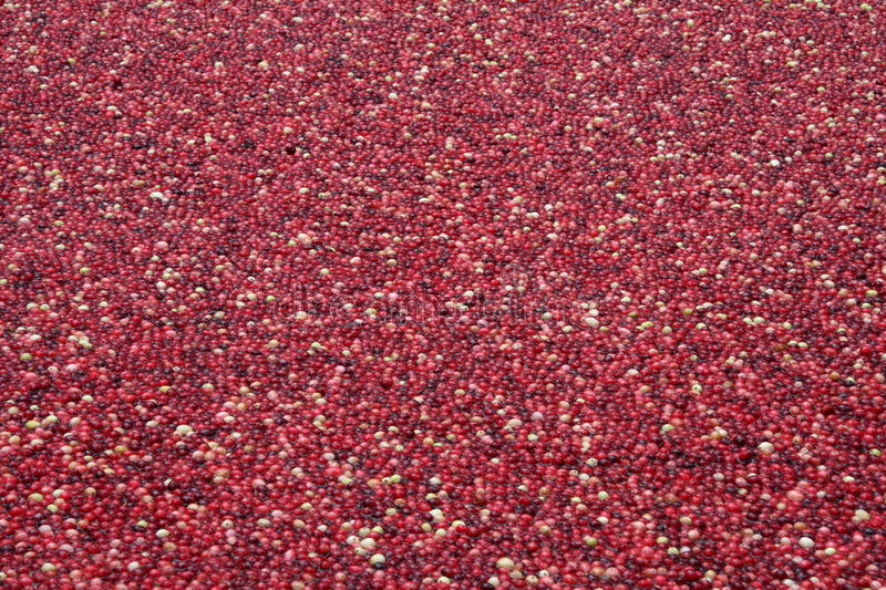 Cranberries in water royalty free stock image