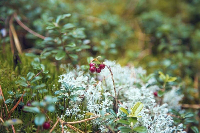 cranberry fotos de stock royalty free