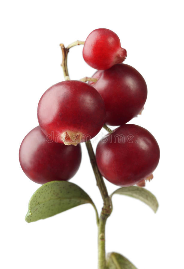 Download Cranberry stock image. Image of ripe, isolated, flora - 11186877