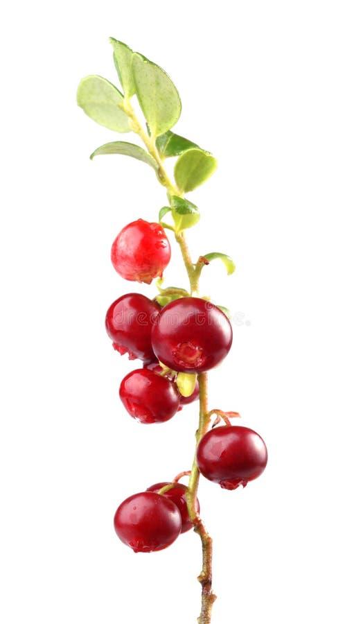 cranberry zdjęcie stock