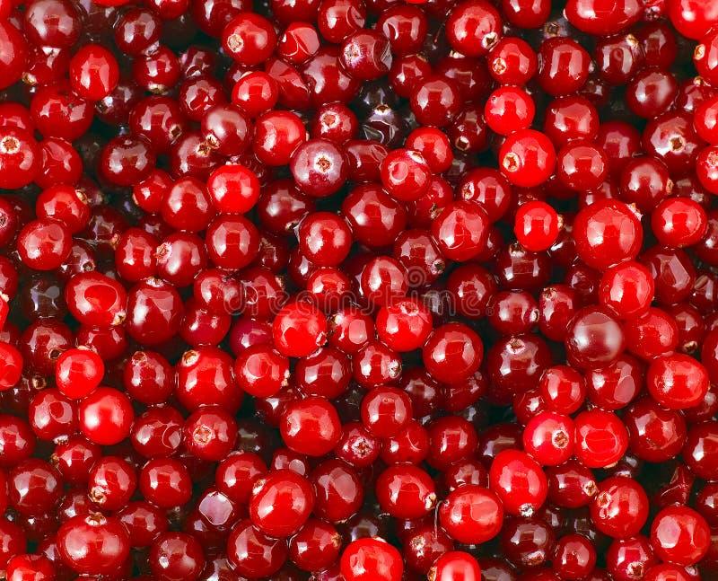 cranberry stock foto