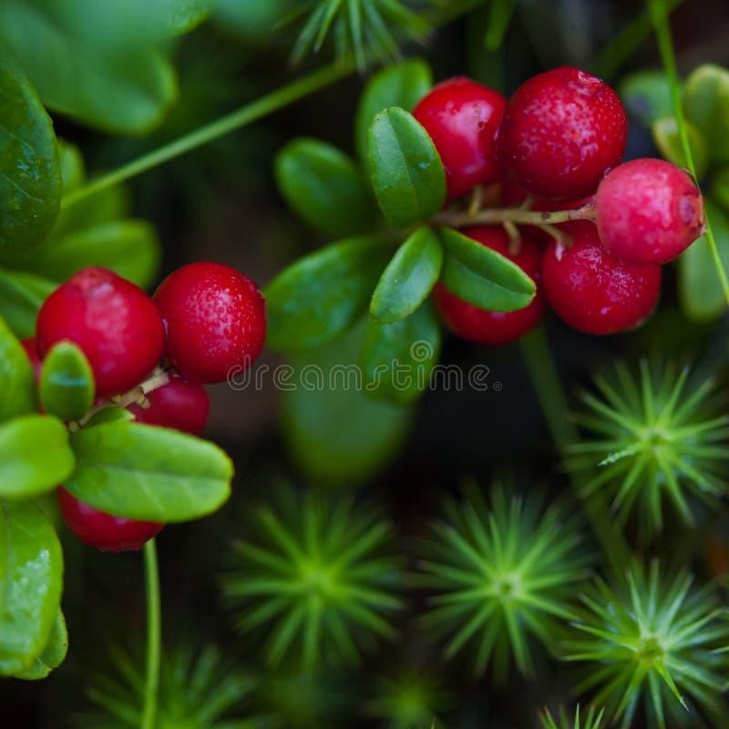 cranberry στοκ εικόνες