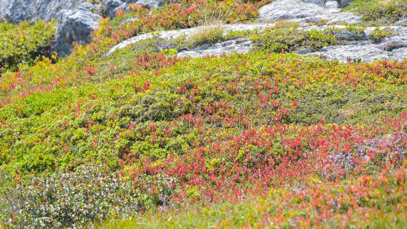 Cranberry bush, in the high mountains. In the agusto stock photo