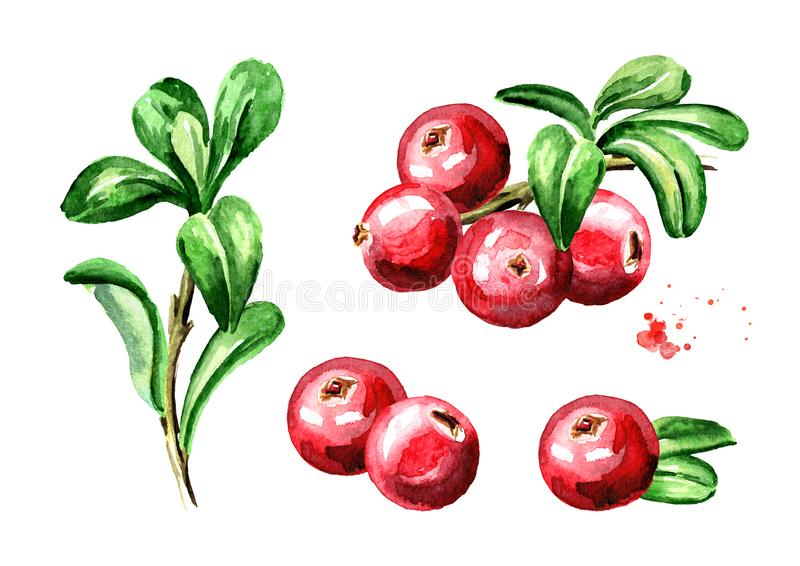 Cranberry compositions set. Fresh berries with leaves and branches. Hand drawn watercolor illustration isolated on white backgrou. Nd stock illustration