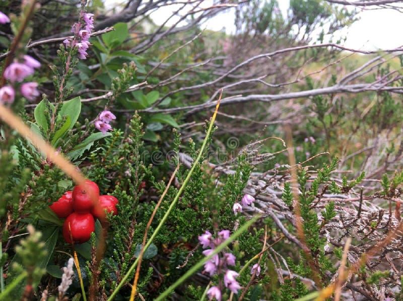 Cranberry dorośnięcie w Norwegia górach zdjęcia royalty free