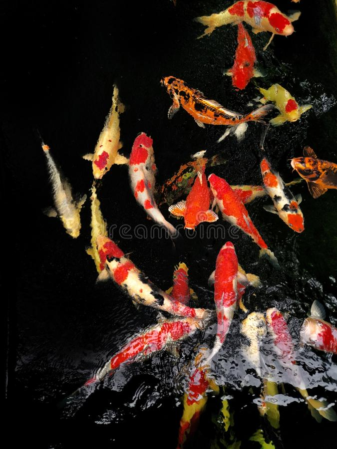 Cranberry fish are eating feed pellet in the pond at Bangkok Thailand. Some are eating algae or moss. stock photo