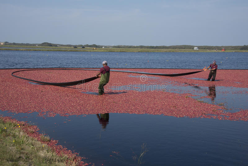 Cranberry harvesters royalty free stock photos