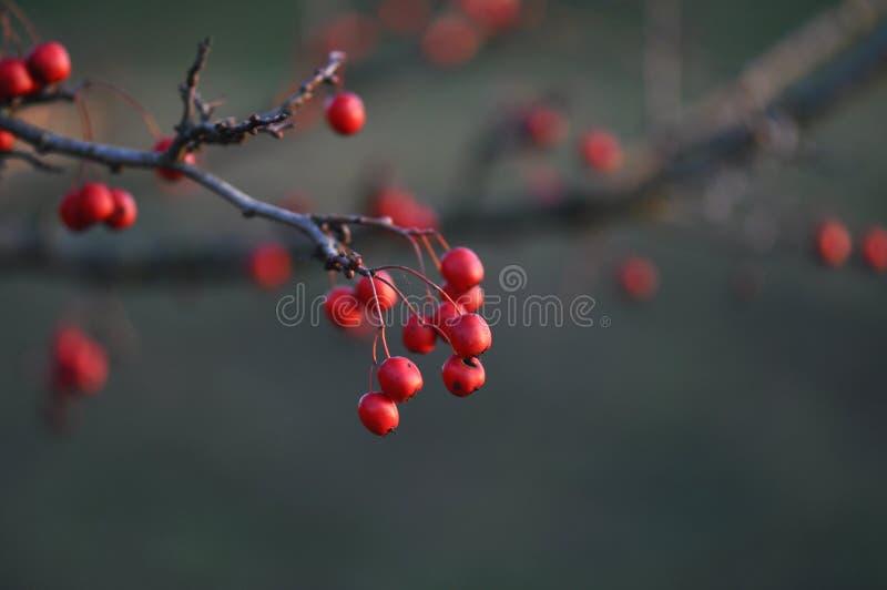 Cranberry. Macro detail of wild Cranberry stock photos