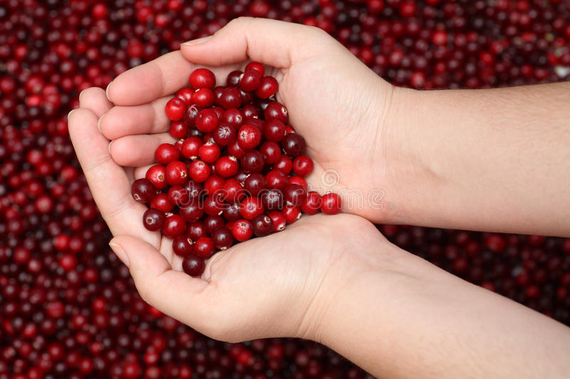 Cranberry in palms. Fresh cranberry in palms. Close-up royalty free stock images