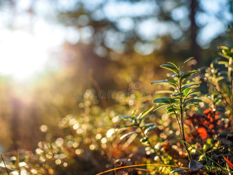Download Cranberry plant stock photo. Image of berry, alive, food - 105621396