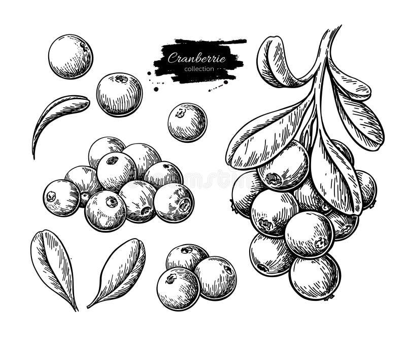 Cranberry wektoru rysunek Odosobniony jagody gałąź nakreślenie na bielu ilustracji