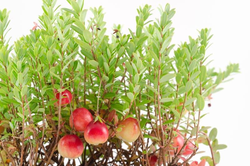 Cranberryväxt royaltyfri foto