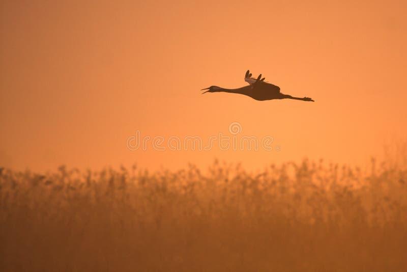 Download Crane stock photo. Image of distance, bright, marsh, legs - 23596020