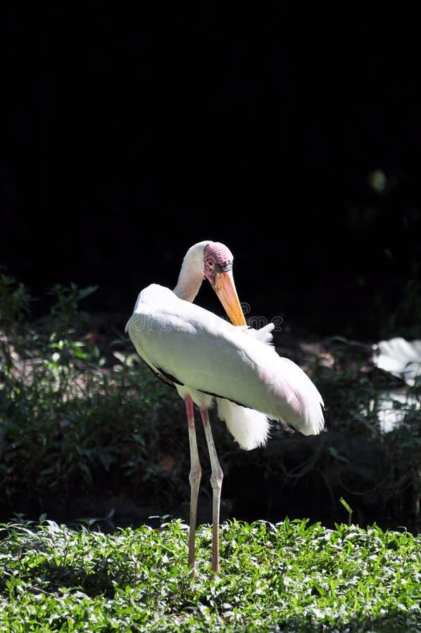 Download A Crane Bird Stock Images - Image: 14493464