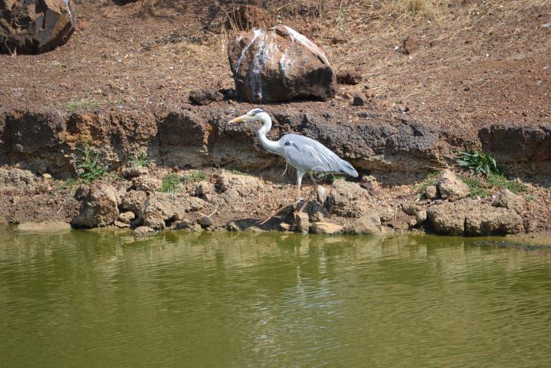Crane Bird royalty-vrije stock foto
