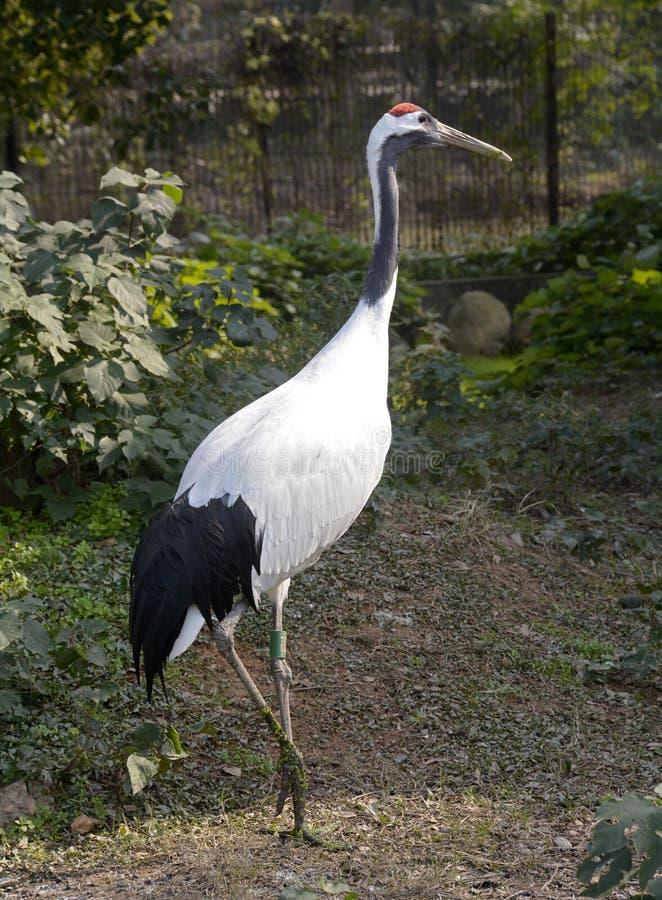 Crane Bird image libre de droits