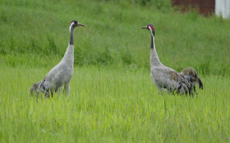 Crane bird royalty free stock photography