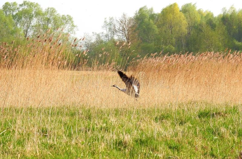 Crane bird between reed plants, Lithuania stock images