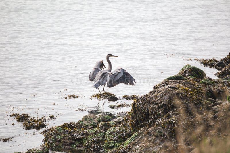 Crane Bird Standing sur Rocky Shore image libre de droits