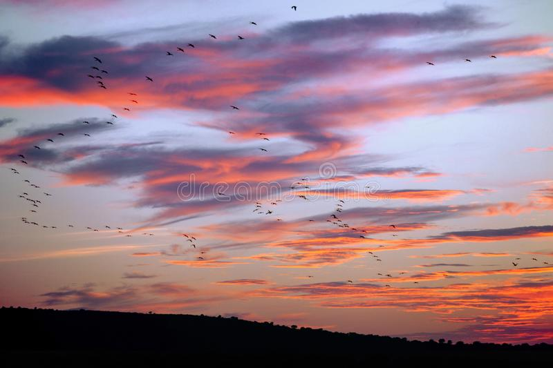 Crane Birds Flying at Sunset. In Spain stock photography
