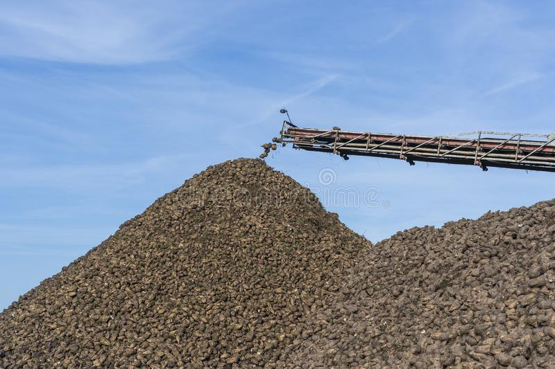Crane conveyor of combine harvester unloading sugar beet. Agricultural equipment royalty free stock photography
