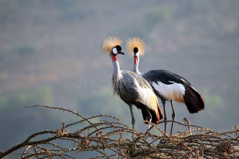 Crane Couple couronné photographie stock libre de droits
