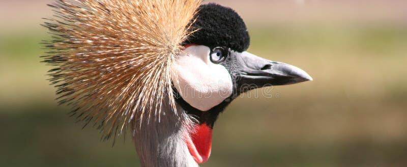 crane crown obrazy stock