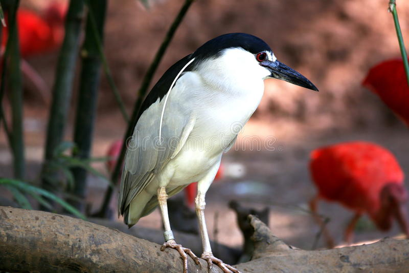 Crane Crowned Nigh. Black Crowned Night Heron the branch royalty free stock image