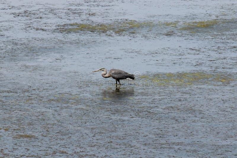 Crane Feeding In Water imagen de archivo