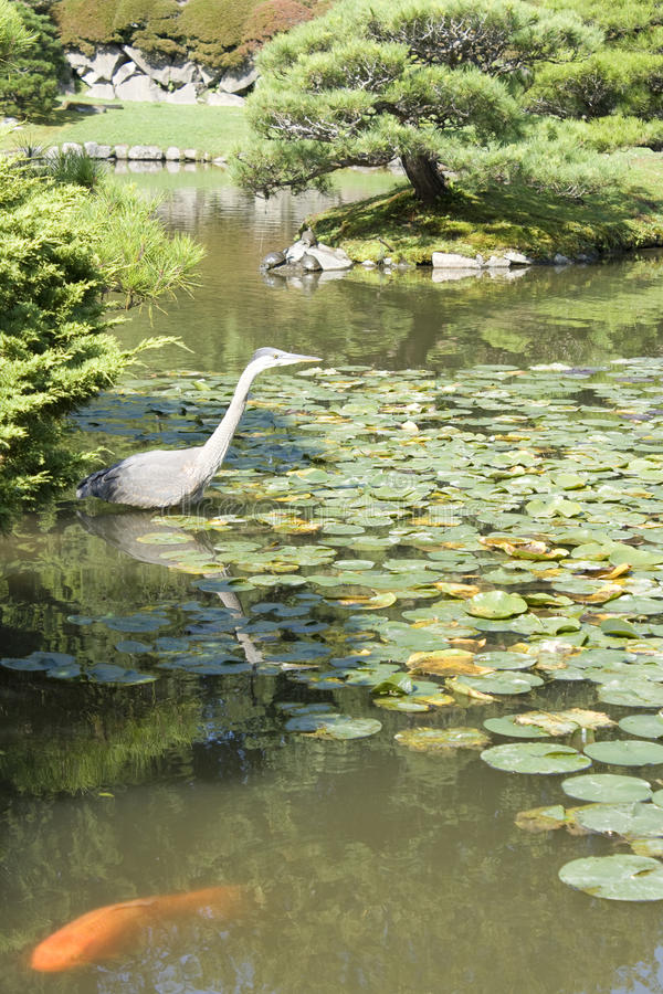Crane and fish in Japanese garden
