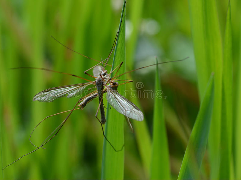 Crane flies mating stock image