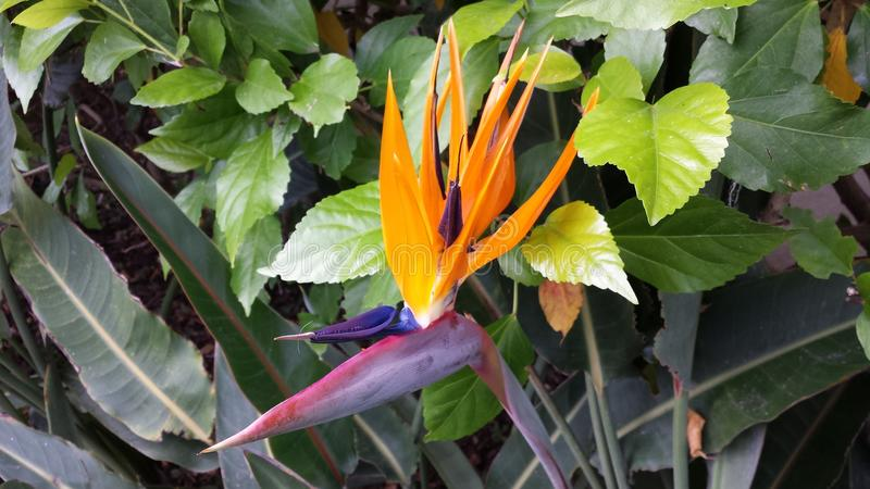 Crane Flower immagini stock libere da diritti