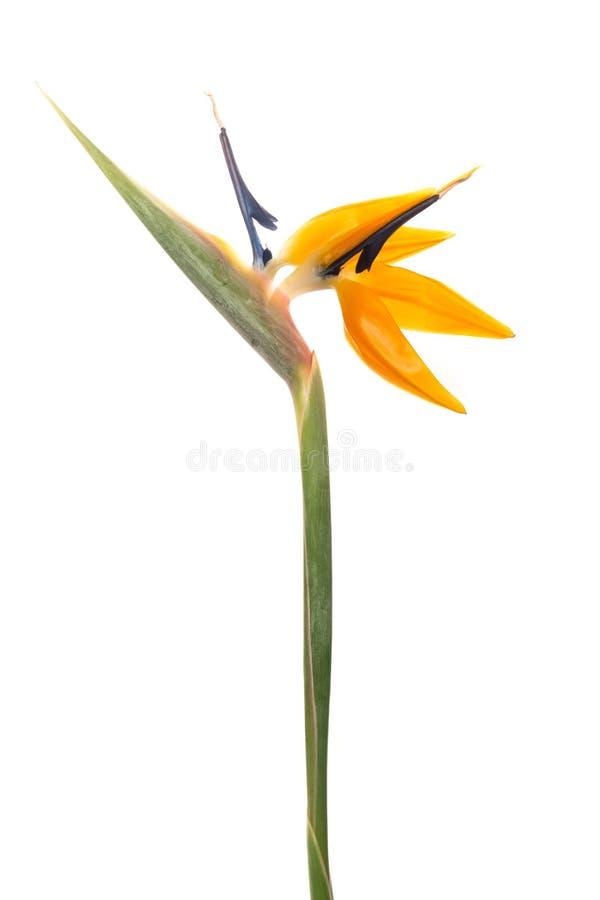 Crane Flower foto de stock