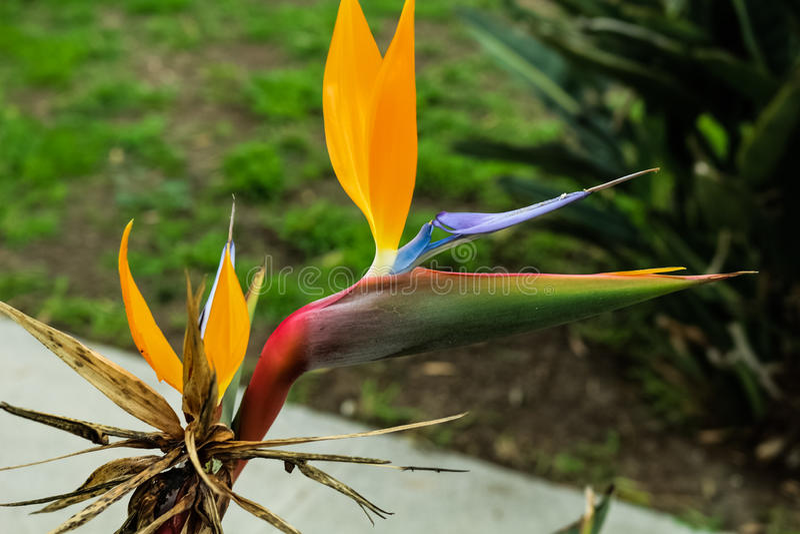Crane Flower arkivfoto