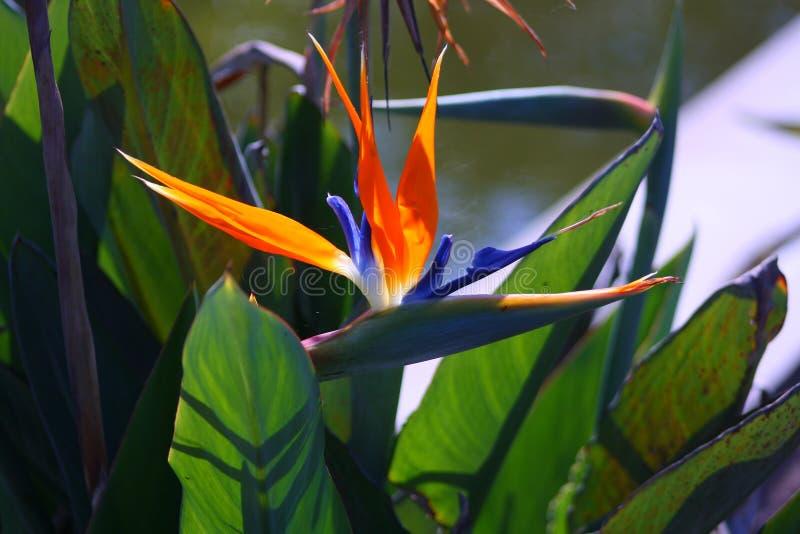 Crane Flower colorido fotografia de stock