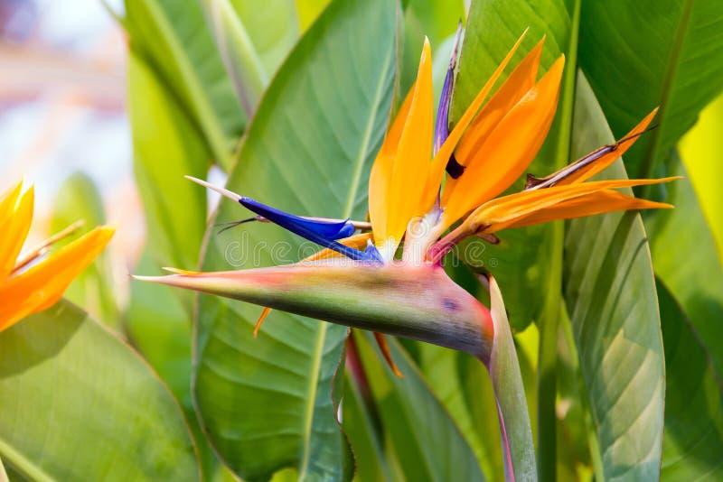 Crane Flower ou pássaro de paraíso fotos de stock