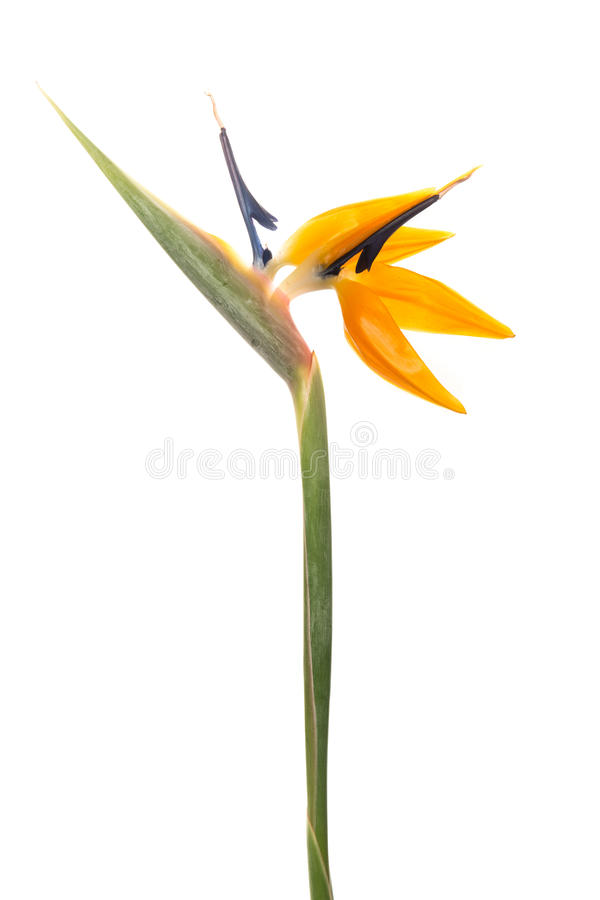 Crane flower stock photo