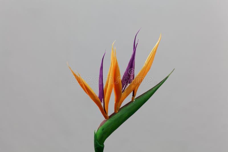 Crane flower Strelitzia reginae stock photography