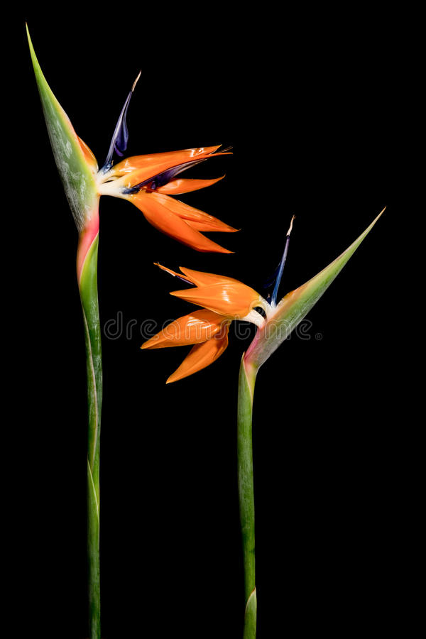 Crane flowers on black stock image