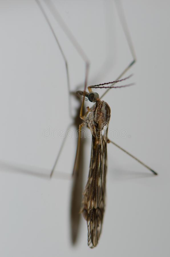 Crane Fly royalty-vrije stock fotografie