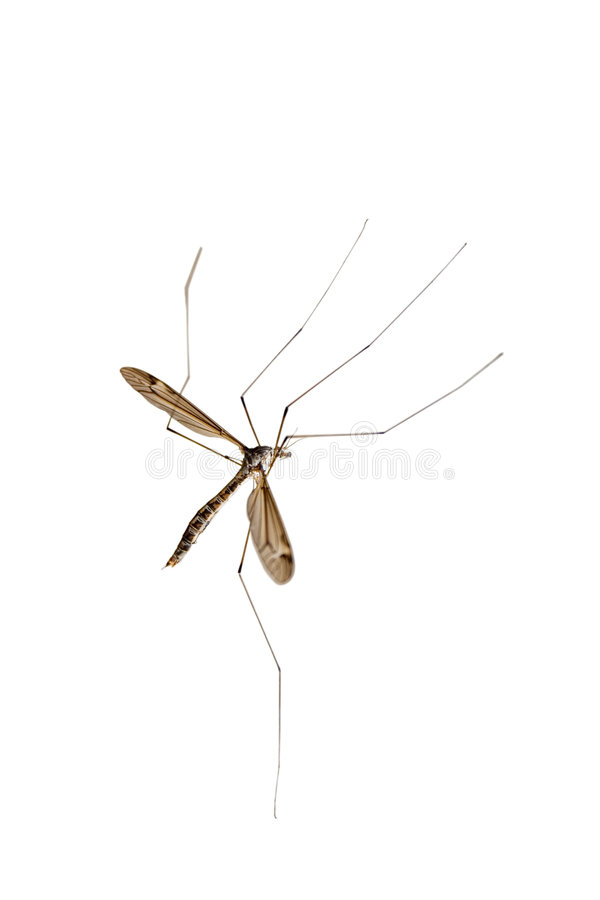 Crane fly royalty free stock image