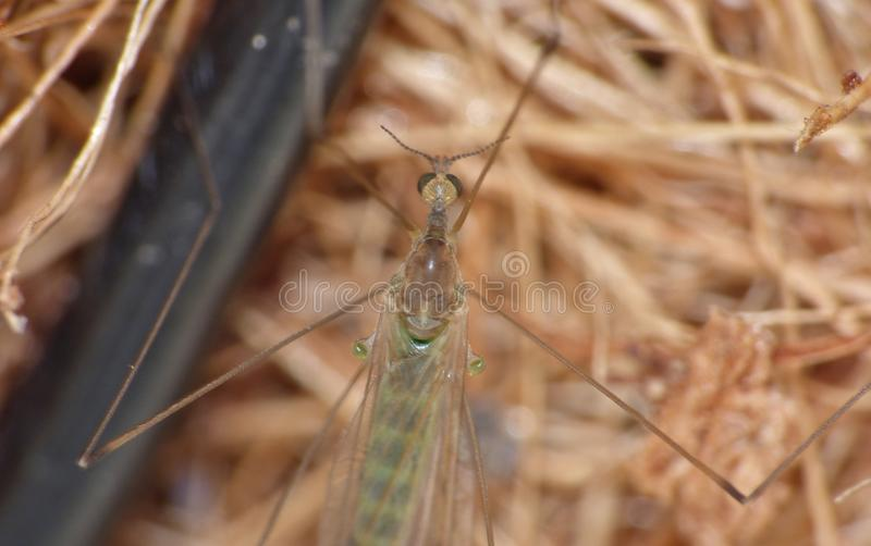 Crane Fly Close Up - papa lange benen stock afbeelding
