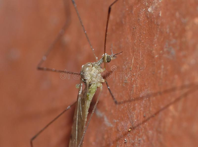 Crane Fly Close Up - papa lange benen royalty-vrije stock foto