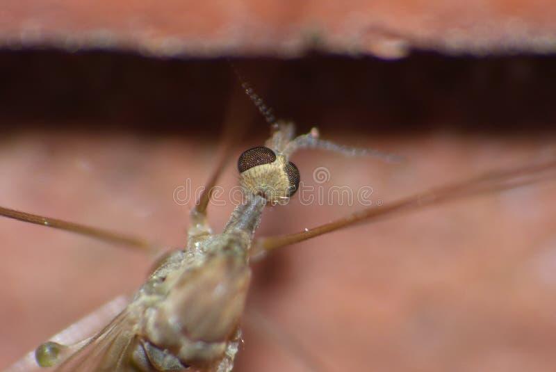 Crane Fly Close Up - papa lange benen stock fotografie