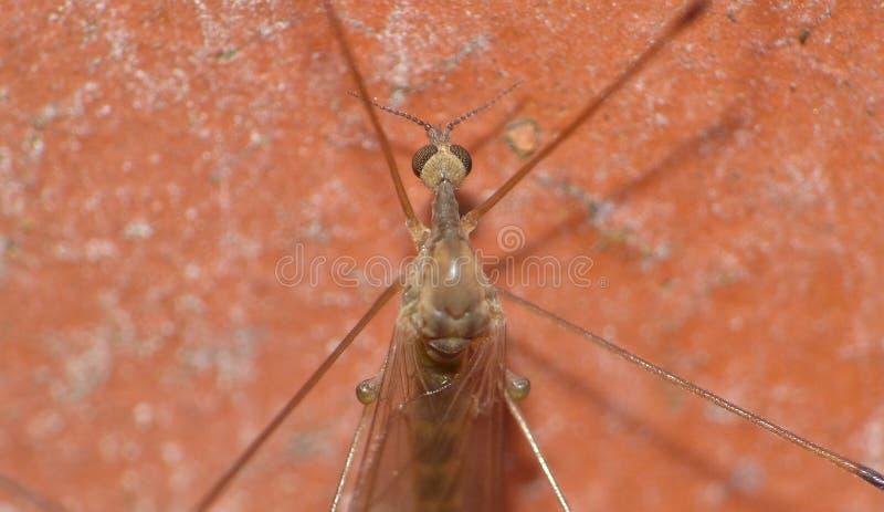 Crane Fly Close Up - papa lange benen royalty-vrije stock foto's