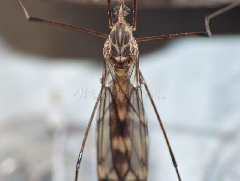 Crane Fly Close Up - papa lange benen royalty-vrije stock afbeeldingen