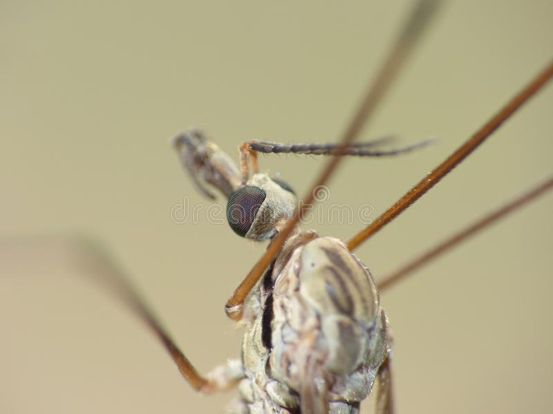 Crane Fly Close Up - papa lange benen stock foto