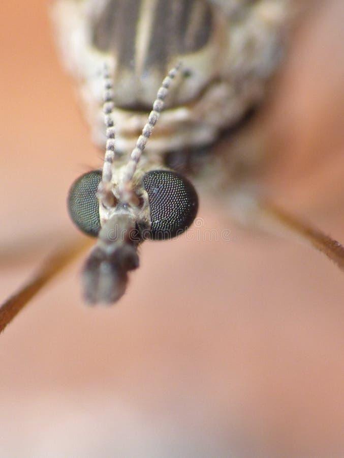 Crane Fly Close Up - papa lange benen royalty-vrije stock afbeelding