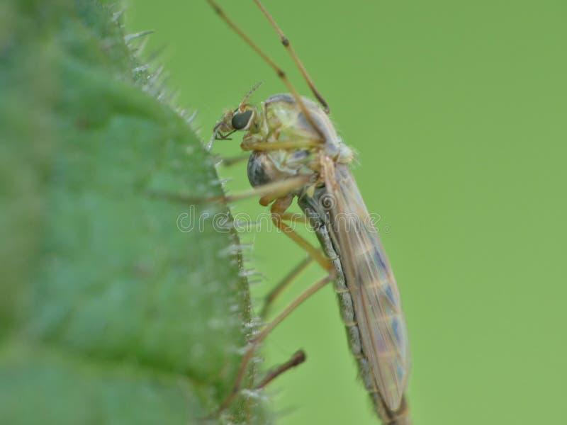 Crane Fly Close Up - papa lange benen stock afbeeldingen