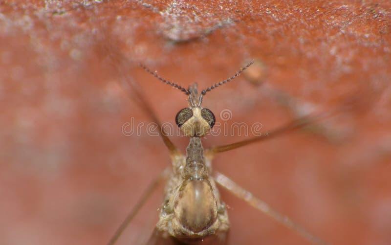 Crane Fly Close Up - papa lange benen stock foto's